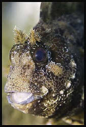 Tompot blenny - Parablennius gattorugine - Island Cres - ... by Dejan Sarman 